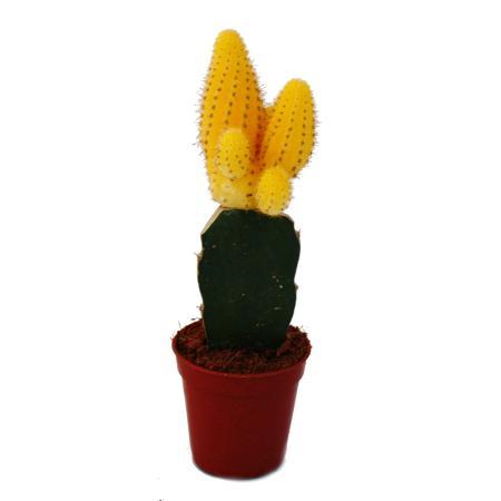 Chamaecereus silvestrii - banana cactus - yellow - 5.5cm pot