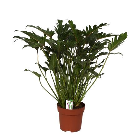 Philodendron Xanadu im 21cm Topf, Gesamthöhe ca.65cm