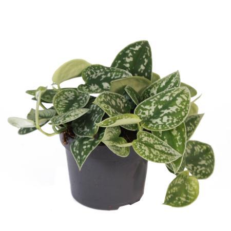 Ivy - Scindapsus pictus argyraeus, 12 cm pot