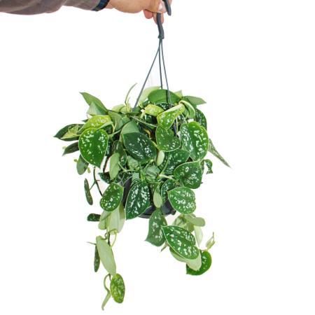 Ivy - Scindapsus pictus arguraeus in a hanging pot 15cm