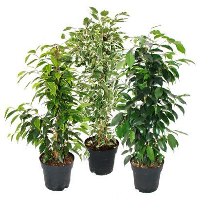 Ficus Benjamini - Set of 3 - Danielle - Anastasia - Twighlight - 17cm pot