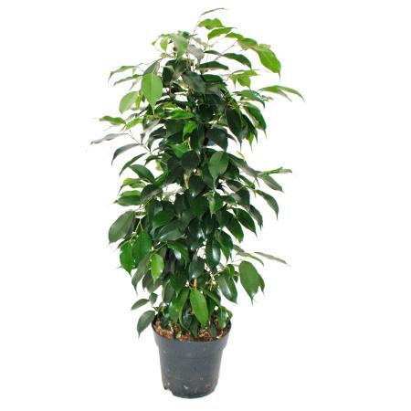 """Ficus benjamini """"Danielle"""" - 17cm pot"""