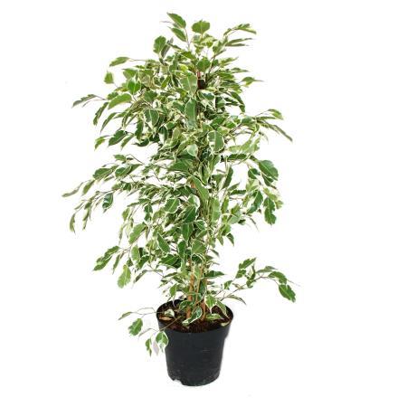 """Ficus benjamini """"Twighlight"""" im 17cm Topf"""