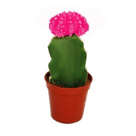 Gymnocalycium mihanovichii - strawberry cactus - pink - 5.5cm pot