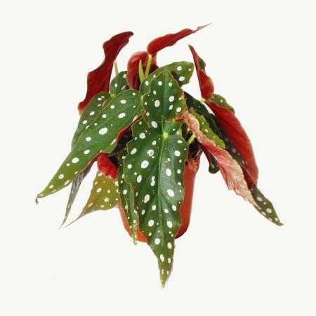 Portulacaria Afra Var Jadebaum Kleine Pflanze Im 55cm Topf