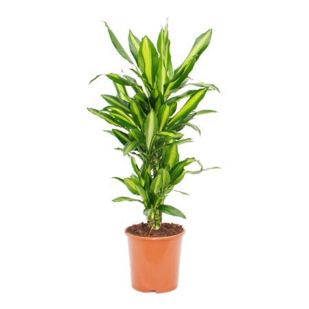 Breitblättriger Drachenbaum - Dracaena Cintho - ca. 110cm Gesamthöhe