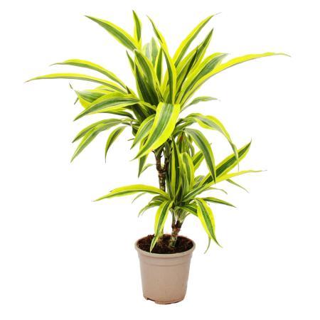 "Drachenbaum - Dracaena deremensis ""Lemon Lime""  - 17cm"