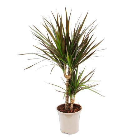"Dracaena marginata ""Magenta"" - 17cm pot - 2er Tuff"