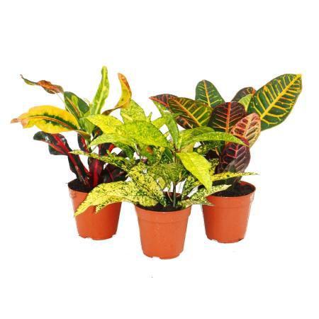 Set of 3 different Codiaeum plants, wonder shrub, 9cm