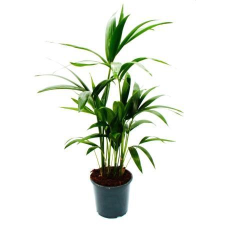 Kentia Palme, Howea forsteriana,  19cm, ca. 80cm hoch