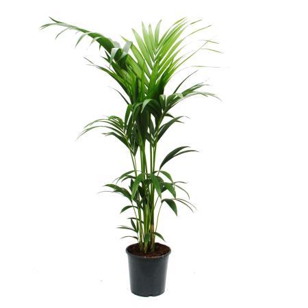 Kentia Palme, Howea forsteriana,  21cm, ca. 120cm hoch