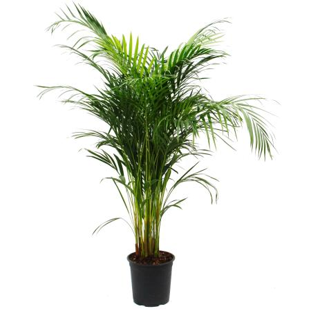 Gold fruit palm - Dypsis lutescens (Areca), solitary plant, approx. 130cm high