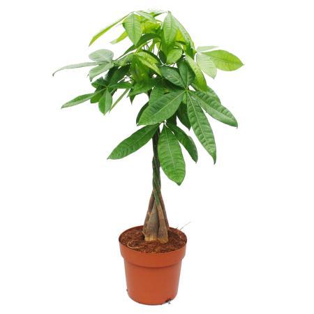 Pachira aquatica, chestnut - 21cm pot - ca. 100cm high