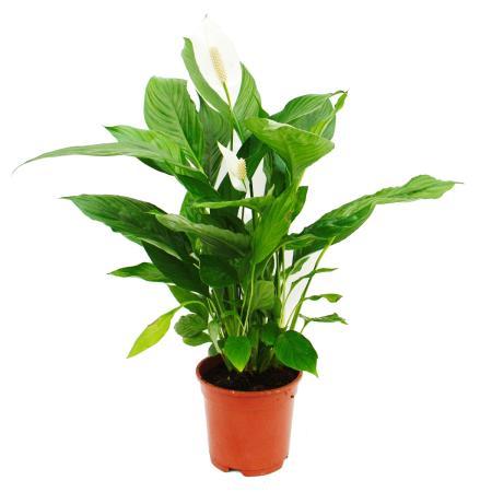 "Spathiphyllum ""Cupido"", Einblatt - 17cm Topf"