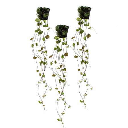 3er Set Ceropegia woodii, Leuchterblume