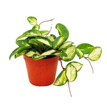 Indoor plant to hang - Hoya carnosa tricolor - porcelain flower - wax flower 12cm