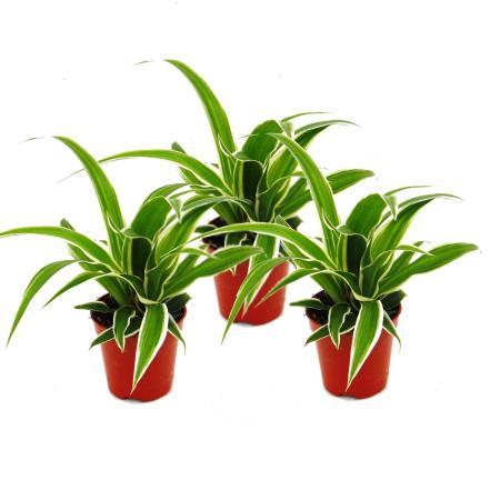 Chlorophytum Mini, Set of 3, Green Lily