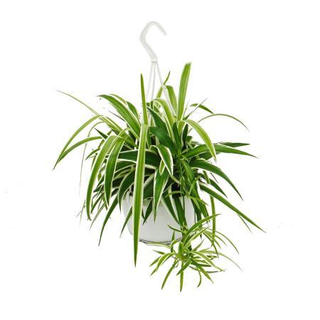 chlorophytum, green lily, traffic light plant