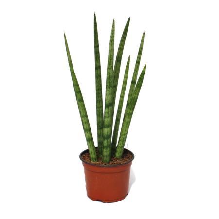 Sansevieria cylindrica - stylish plant in 10.5cm pot