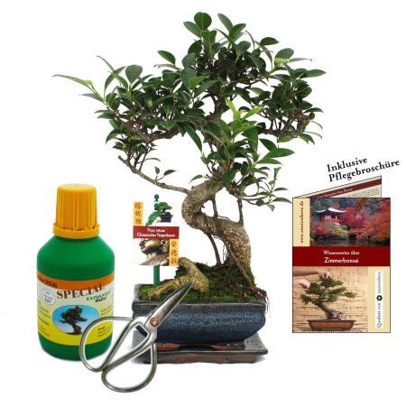 """Geschenkset Bonsai """"Ficus"""" - Chinesischer Feigenbaum - ca. 6 Jahre alt - Anfänger-Set"""