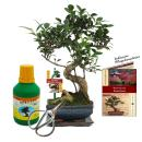 "Gift set Bonsai ""Ficus"" - Chinese fig tree -..."