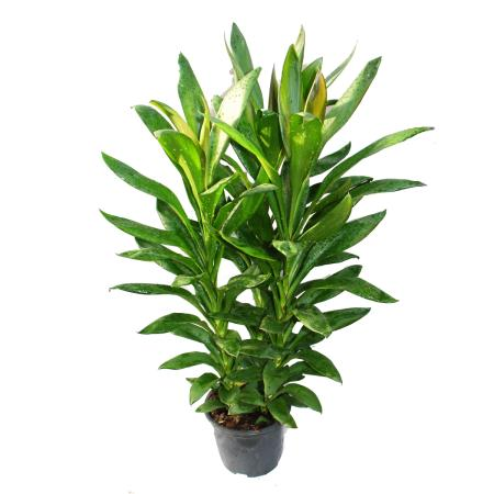 Cordyline fruticosa, Keulenlilie, grün im 19cm Topf