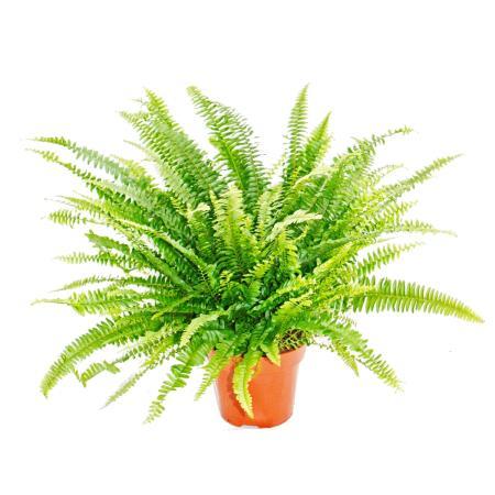 Nephrolepis, sword fern 17cm Pot