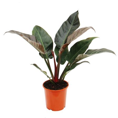 Philodendron Imperial Red 19cm Topf