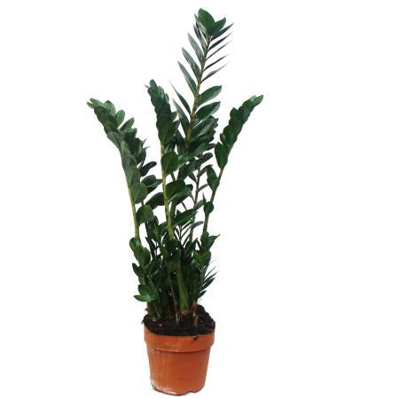 Zamioculcas zamiifolia, Lucky Feather 17cm Pot