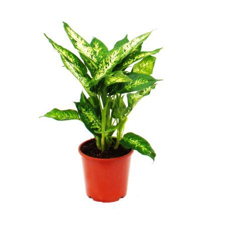 "Dieffenbachia ""compacta"" - 17cm pot"