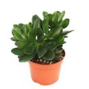 Crassula portulacea - money tree - large plant in 12cm pot