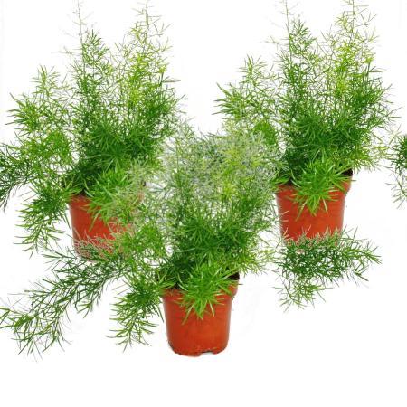 Asparagus densiflorus sprengeri, set of 3