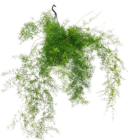 Zierspargel im Ampeltopf - Asparagus densiflorus sprengeri