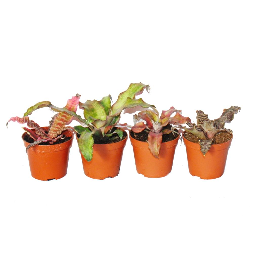 4er set erdbromelie cryptanthus buntlaubige pflanze ideal f r t. Black Bedroom Furniture Sets. Home Design Ideas