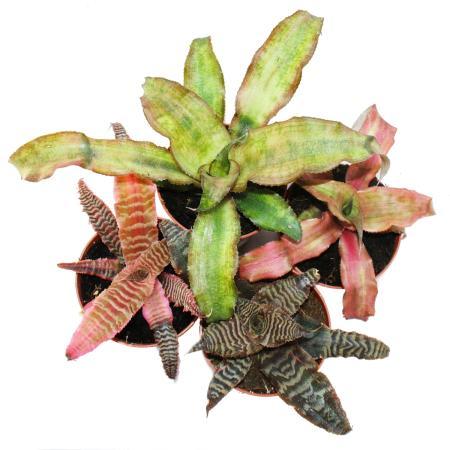Raritaten Ausgefallene Zimmerpflanzen