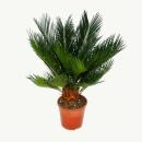 Cycas revoluta - Japanese palm fern with tuber - 12cm pot