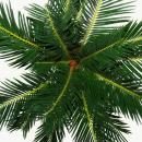 Cycas revoluta - Japanese palm fern with tuber - 12cm pot