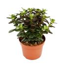 Crassula portulacea minor - Money tree - Penny Tree -...