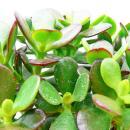 Crassula portulacea minor - Money tree - Penny Tree - 12cm pot