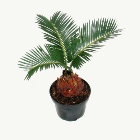 Cycas revoluta - Japanese palm fern with tuber - 9cm pot