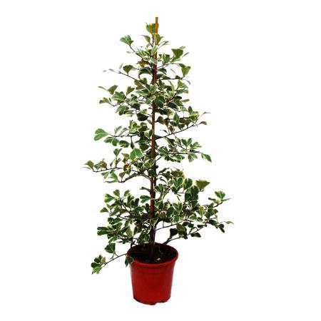 Ficus triangularis variegata - Ficus mit dreieckigen Blättern - Natalfeige