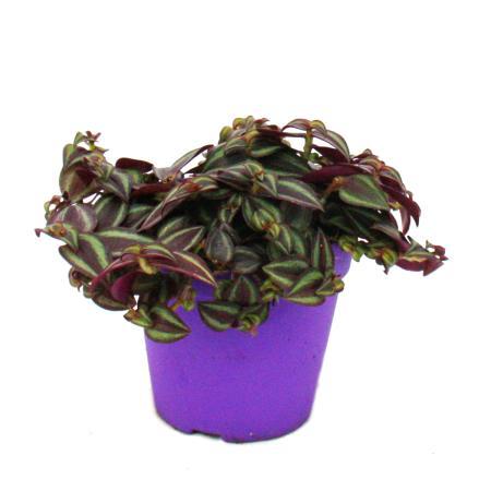 Tradescantia Purple Passion - Dreimasterblume mit lila Blättern - 12cm Topf