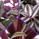 Purple Plant Trio - 3 different plants with purple leaves...
