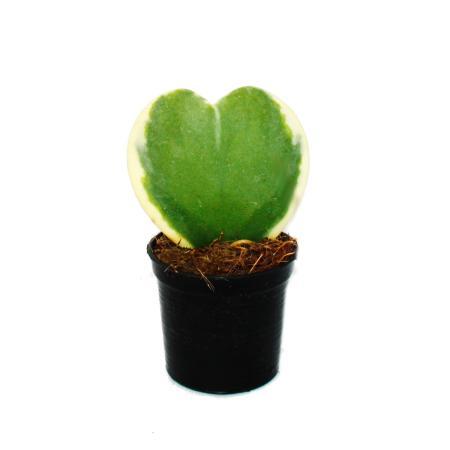 Hoya kerii - two-colored Herzblatt-plant, heart plant or little darling - 6cm pot