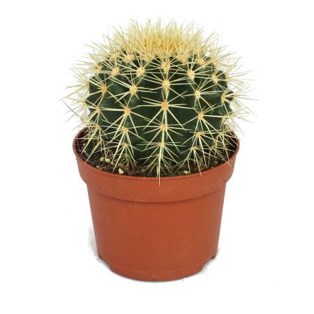 Echinocactus grusonii - Schwiegermutterstuhl - im 12cm Topf