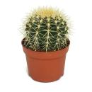 Echinocactus grusonii - mother-in-law chair - in a 12cm pot