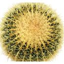 Echinocactus grusonii - mother-in-law chair - solitaire - 30cm bowl