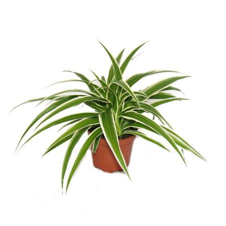 3er Set Chlorophytum  Grünlilie  9cm Topf