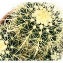 Echinocactus grusonii - mother-in-law chair - solitaire - 16cm bowl