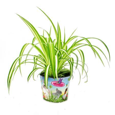 Set mit 3 Futterpflanzen für Heimtiere - Chlorophytum - Vitalfutter für Kaninchen, Hamster und Meerschweinchen
